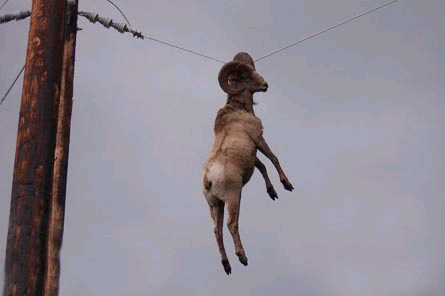 goat_on_wire2.jpg